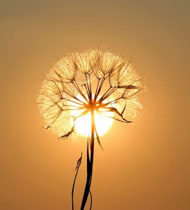 Sunshine and Dandelion